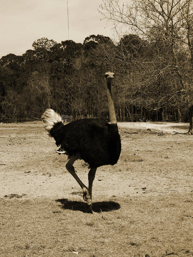 Ostrich Photograph - Ostrich by Pamela Stanford