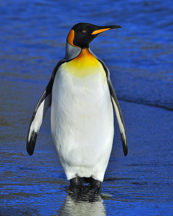 King Penguin Photograph - Out Of Water by Tony Beck