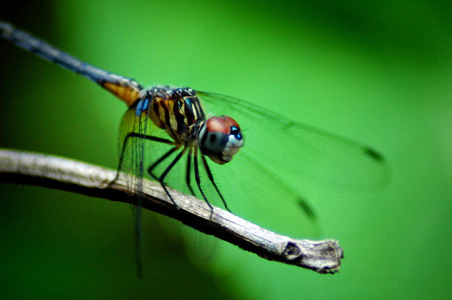 Dragonfly Photograph - Out On A Limb by David Weeks