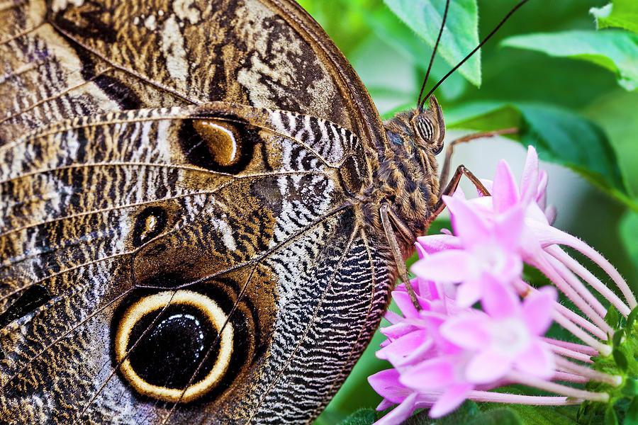 Horizontal Photograph - Owl Butterfly by Daniel Osterkamp