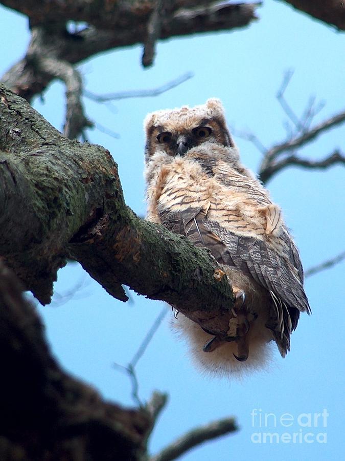 Bird Photograph - Owl in the Oak  by Denise   Hoff
