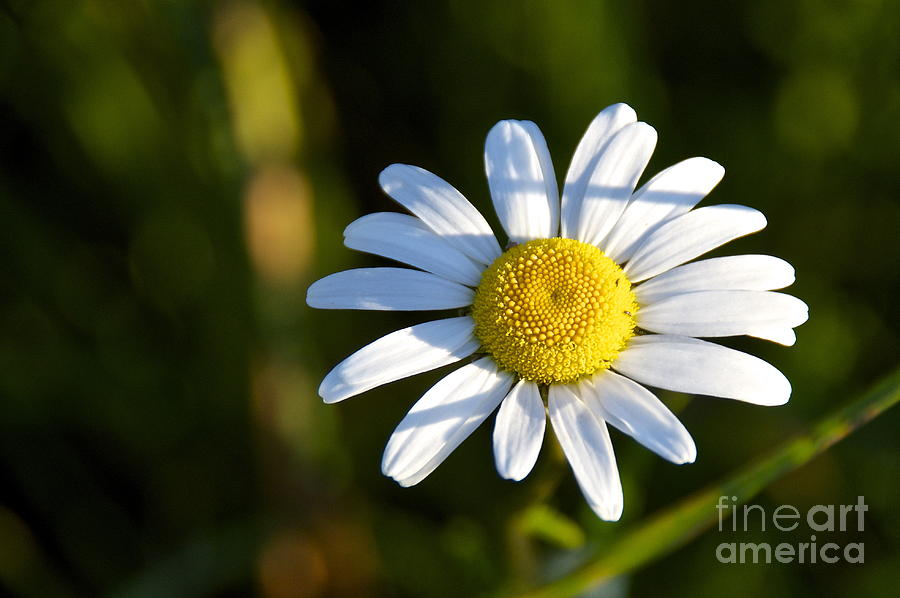 Sean Griffin Photograph - Ox-eye Daisy by Sean Griffin