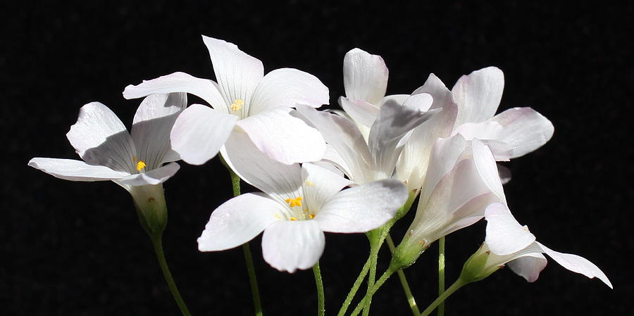 Floral Photograph - Oxalis Flowers 2 by Kume Bryant