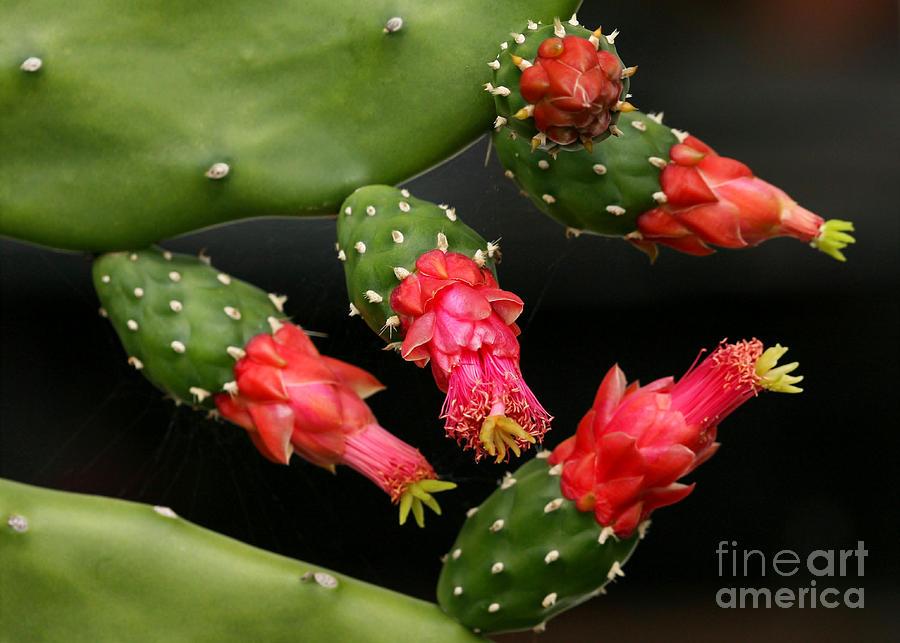 Art Photograph - Paddle Cactus Flowers by Sabrina L Ryan