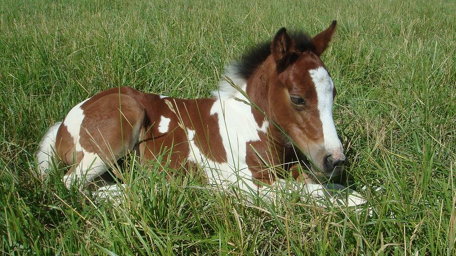 Paint Horse Foal Photograph By Michelle Albert