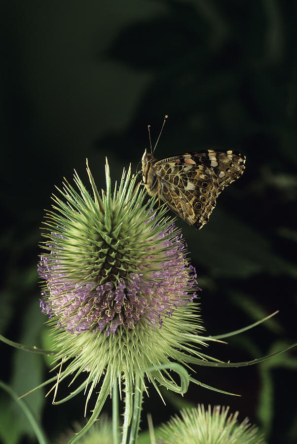 Teasel Photograph - Painted Lady Butterfly by David Aubrey