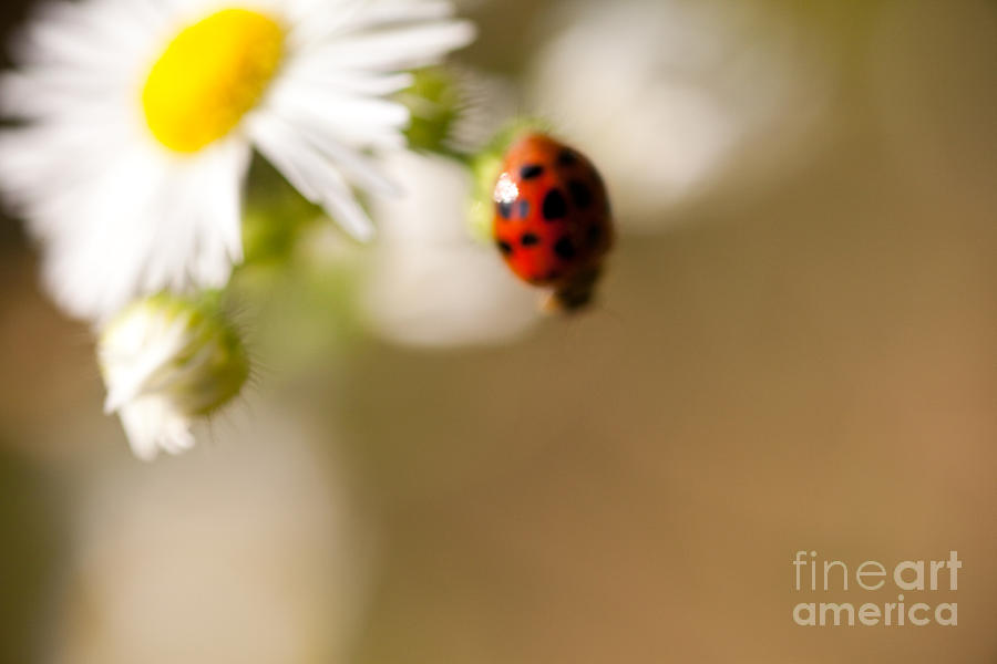 Ladybug Photograph - Painted Lady by Sue OConnor