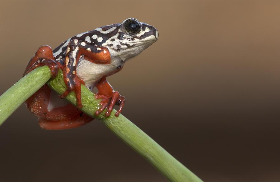 Piotr Naskrecki Photograph - Painted Reed Frog Botswana by Piotr Naskrecki