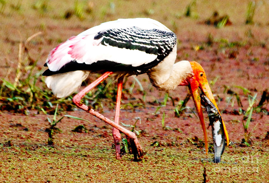 Storks Photograph - Painted Stork Feeding by Pravine Chester
