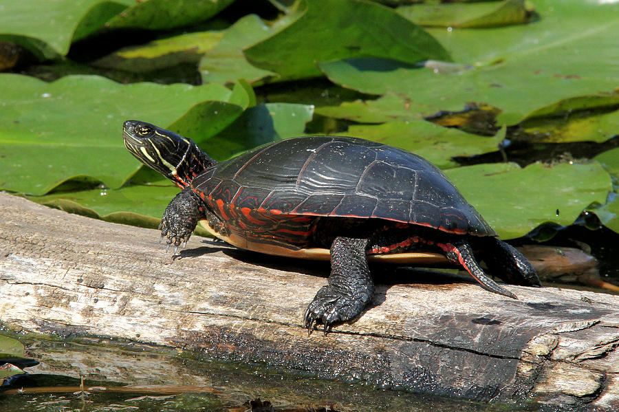 Painted Turtle On Log Photograph by Doris Potter