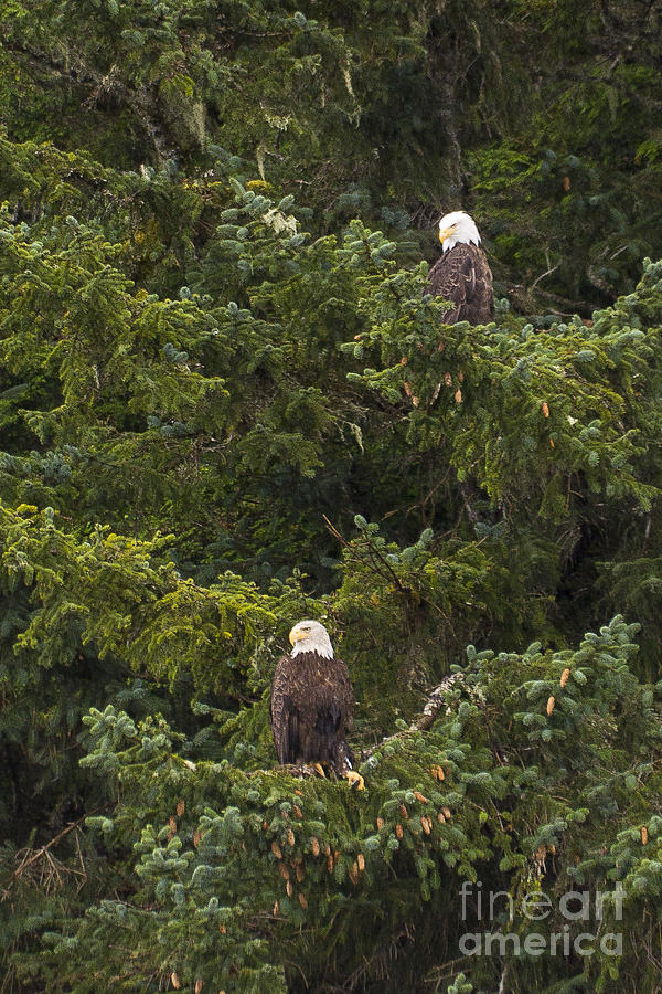 Alaska Photograph - Pair Of Bald Eagles by Darcy Michaelchuk
