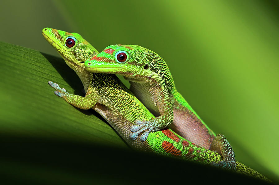 Horizontal Photograph - Pair Of Mating Green Geckos by Pete Orelup