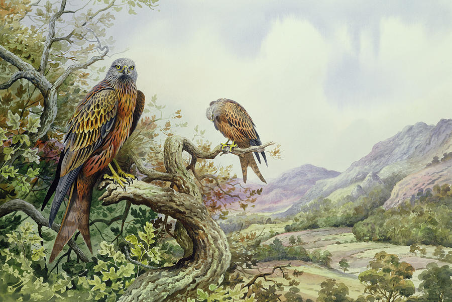 Bird Of Prey; Tree Top; Valley; Mountains; Milan Royal; Milvus Milvus; Kite; Kites; Landscape; Oak Tree Painting - Pair Of Red Kites In An Oak Tree by Carl Donner