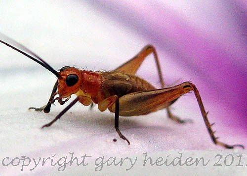 Colorful Photograph - Pale Orange Asian Long Horned Grasshopper by Gary Heiden