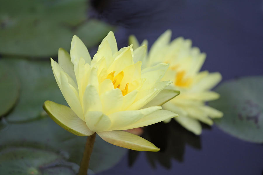 Water Lilies Photograph - Pale Pair by Katherine White