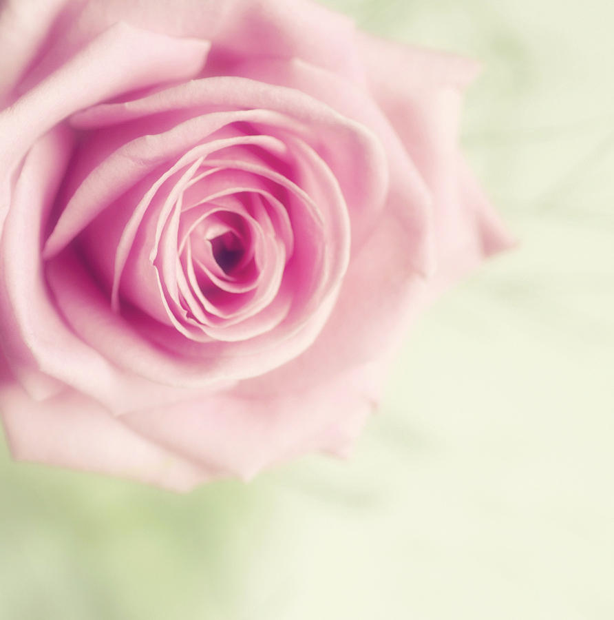 Pale Pink Rose Photograph By Samantha Nicol Art Photography