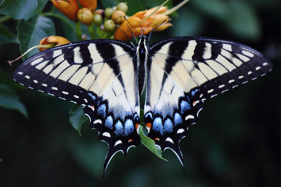Nature Photograph - Pale Swallowtail Butterfly-3 by Barry Jones