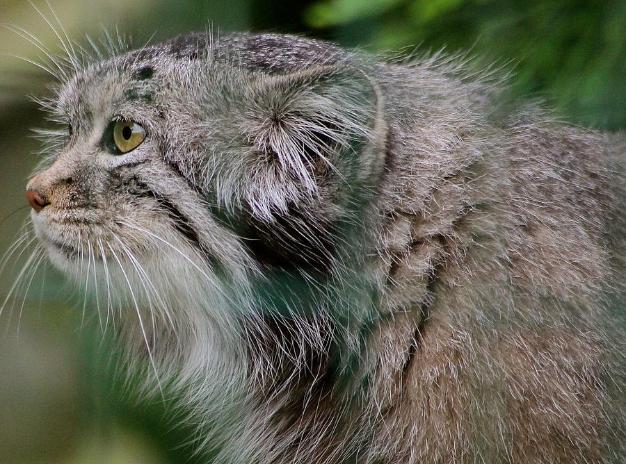 Pallas Cat Photograph - Pallas Cat by Karen Grist