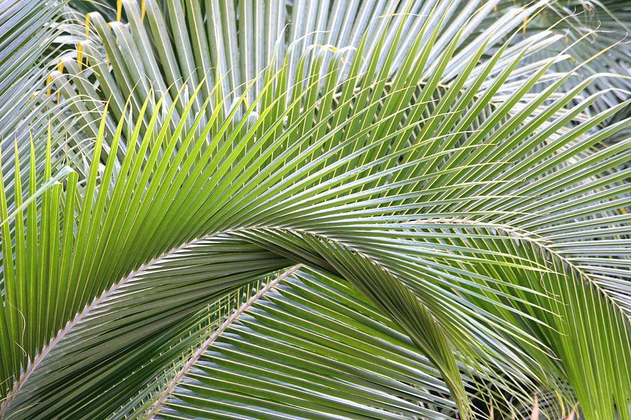Palm Frawns Photograph - Palm Frawns by Melanie Beasley