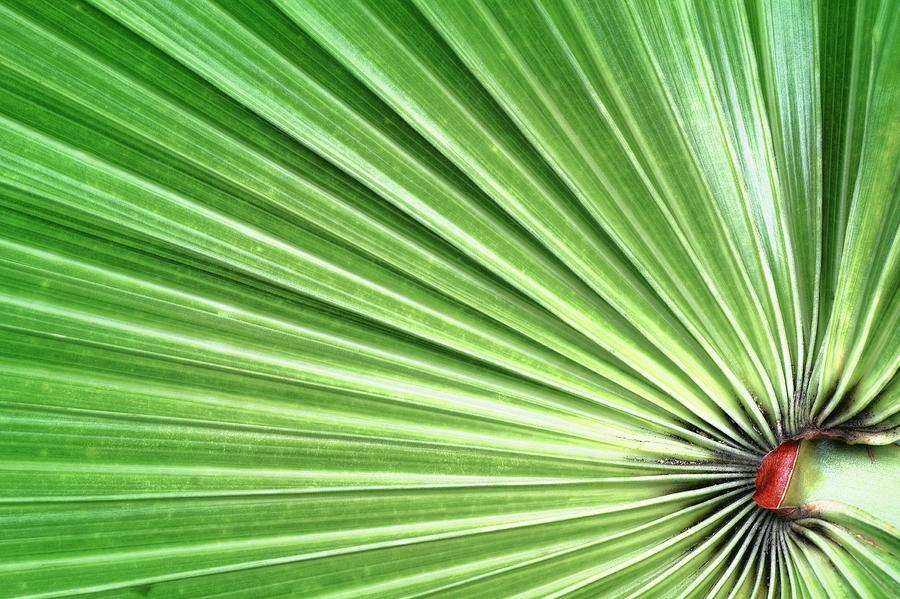 Green Photograph - Palm Leaf by Rudy Umans