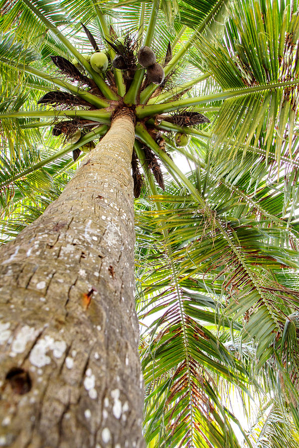 Nature Photograph - Palm Tree From Below With Coconut Fruit by Anya Brewley schultheiss
