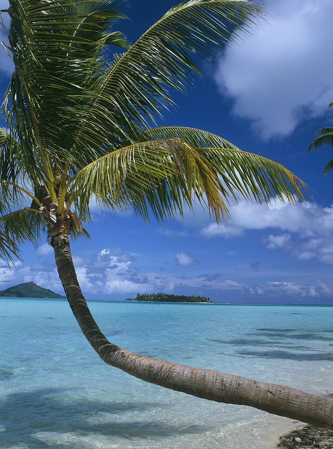 Palm Tree Leaning Over Sea Photograph By Axiom Photographic