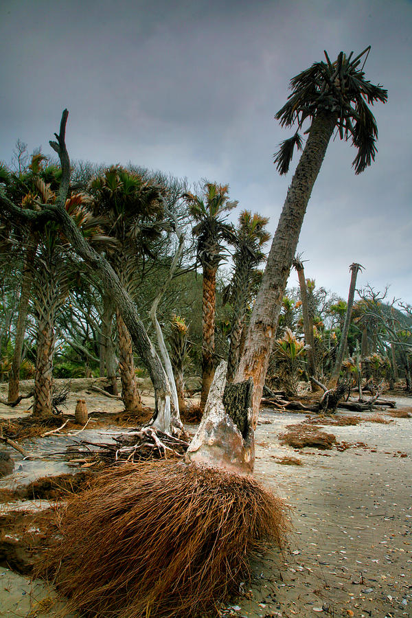 Trees Photograph - Palm Trees Walking by Steven Ainsworth