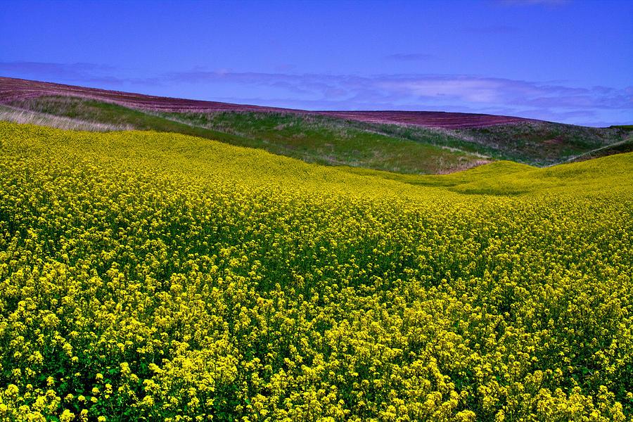 Palouse Hills Canola Fields Photograph