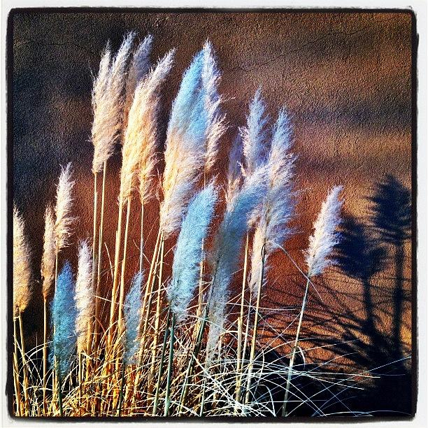 Shadows Photograph - Pampas Grass by Paul Cutright