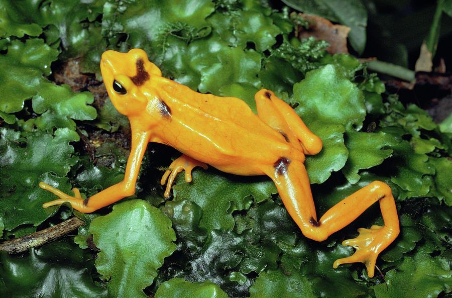 Panamanian Golden Frog Atelopus Zeteki Photograph by Michael & Patricia Fogden