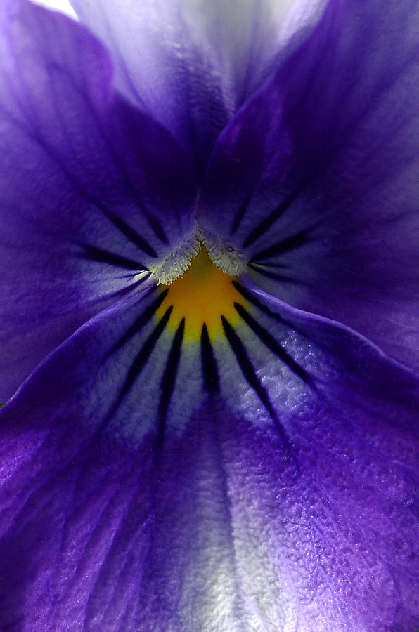 Pansies Photograph - Pansy Abstract by Lisa Phillips