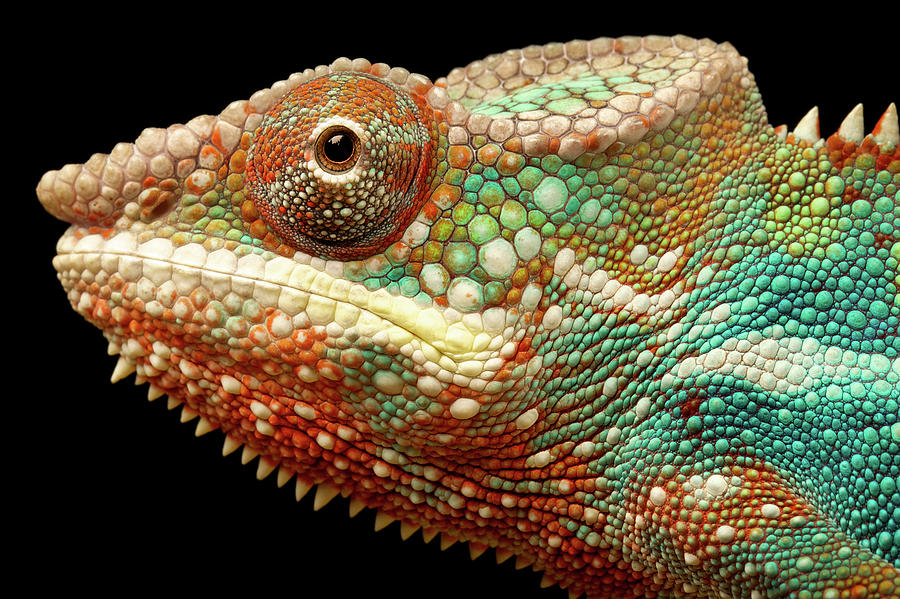 Horizontal Photograph - Panther Chameleon by MarkBridger