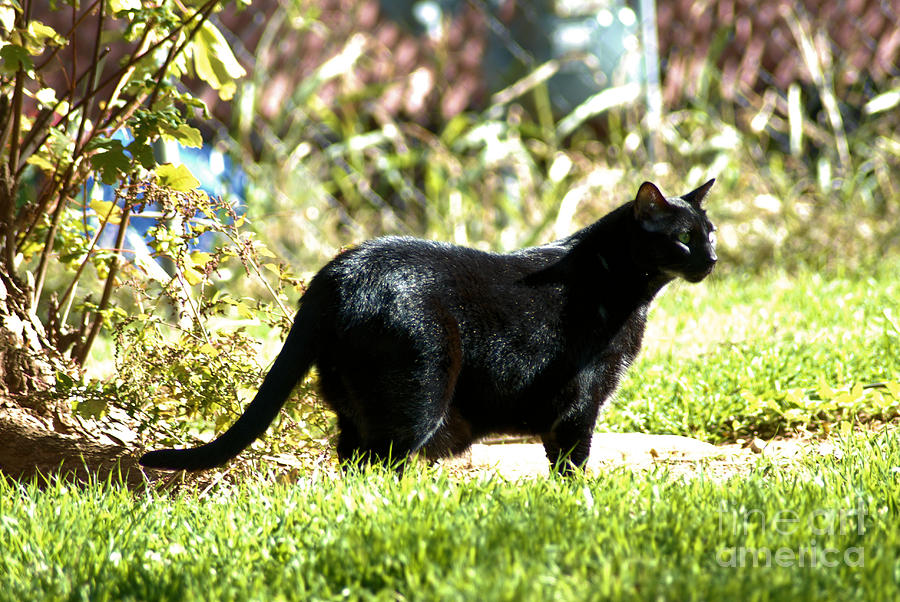 Cat Photograph - Panther In The Backyard by Cheryl Poland