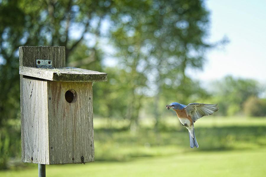 Flying Bluebird Photograph - Papa Bluebird Bringing Supper Home by Bonnie Barry