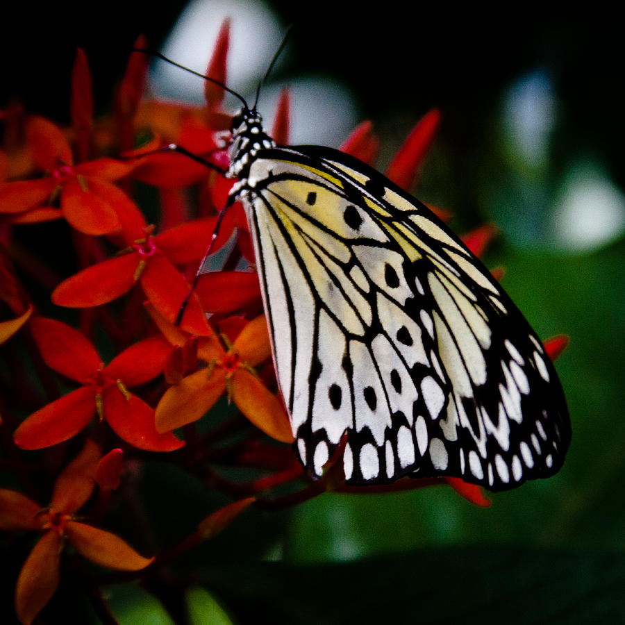 Butterfly Photograph - Paper Kite Butterfly by David Patterson