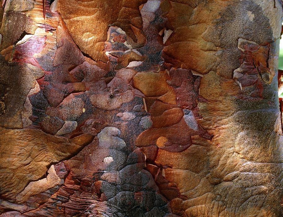 Acer Griseum Photograph - Paperbark Maple by Vaughan Fleming