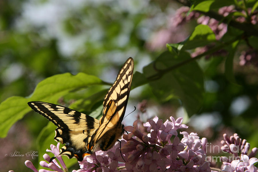Aloha Photograph - Papilio Glaucus   Eastern Tiger Swallowtail  by Sharon Mau