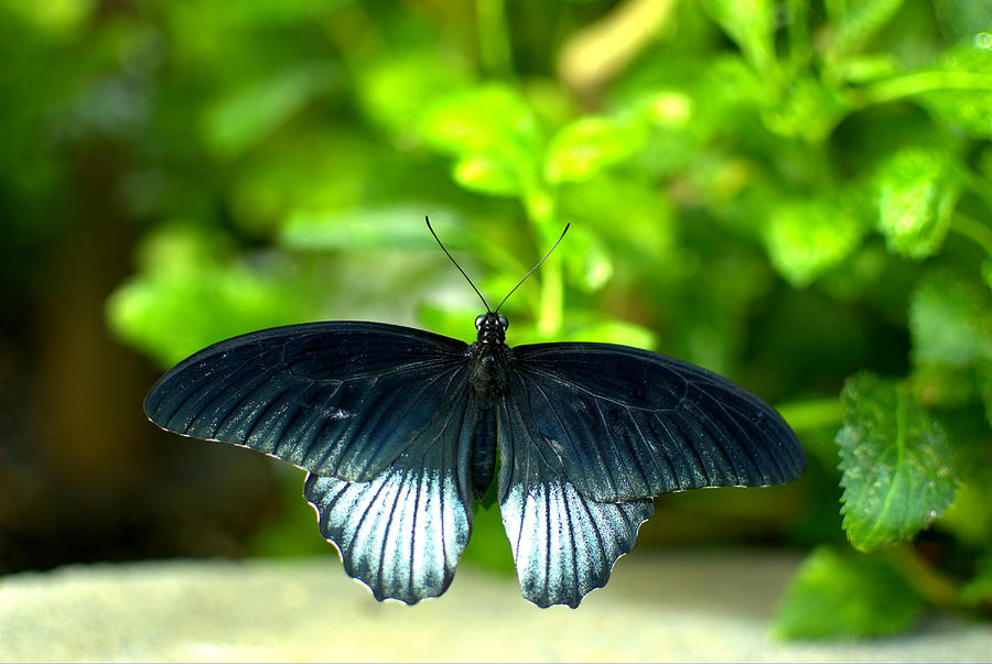 Mormon Photograph - Papilio Lowii II by Floyd Menezes