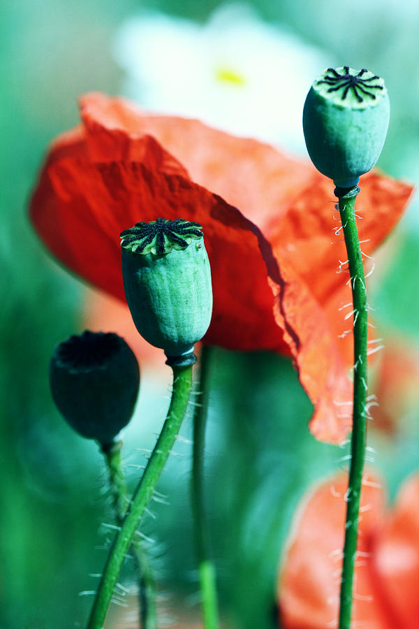 Poppy Photograph - Papoula by Falko Follert
