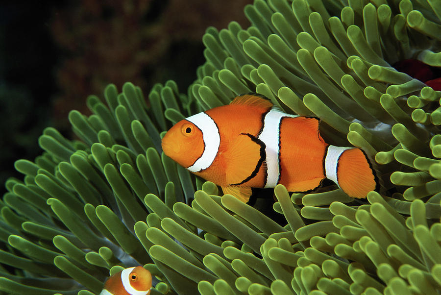 Papua new guinea false clown anemonefish and sea anemone for Examples of fish