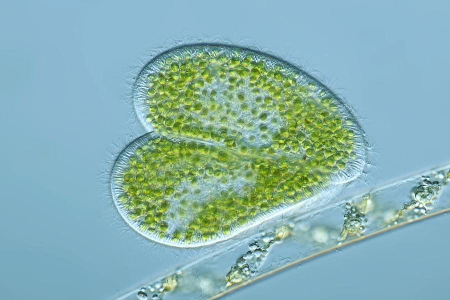 Alga Photograph - Paramecium Protozoa, Light Micrograph by Frank Fox