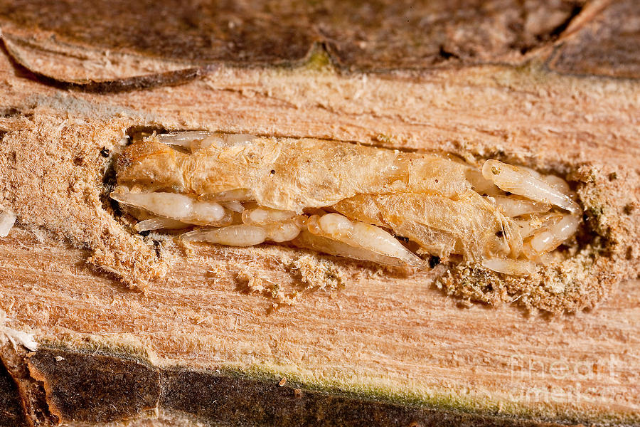 Animal Photograph - Parasitized Ash Borer Larva by Science Source