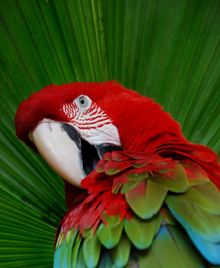 Parrot Photograph - Parrot Head by Skip Willits