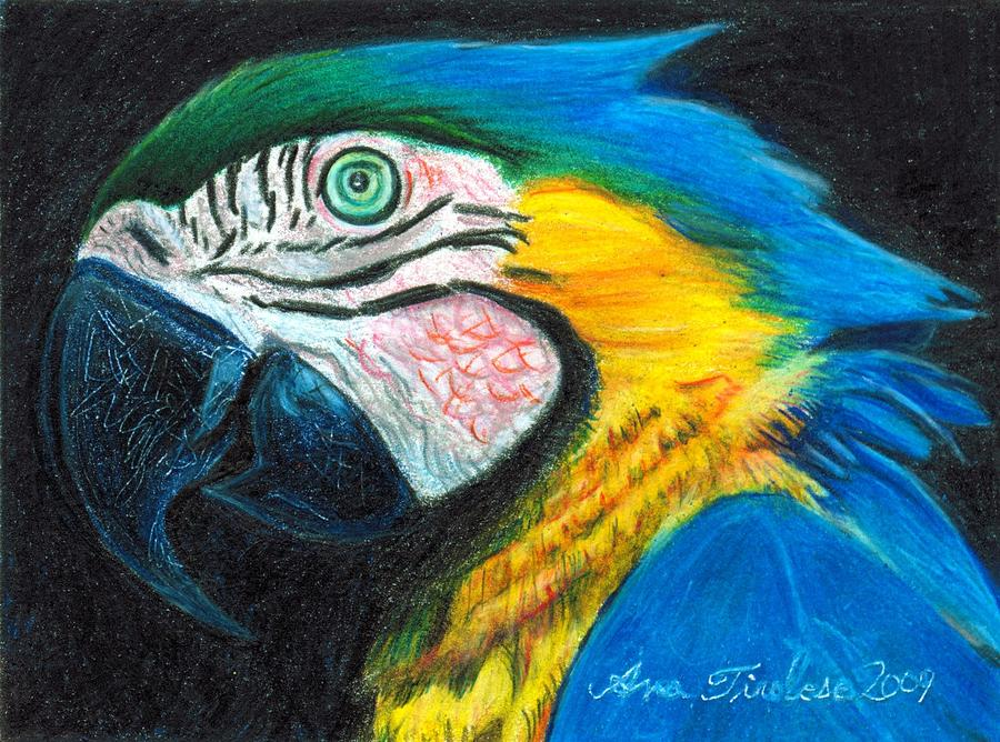 Parrot Drawing - Parrot Miniature by Ana Tirolese