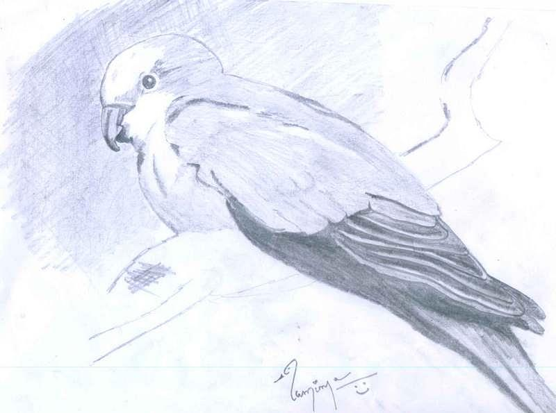 Parrot -pencil Work Drawing - Parrot by Poornima M