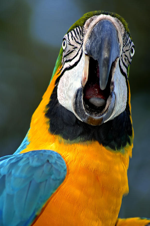 Macaw Photograph - Parrot Squawking by Carolyn Marshall
