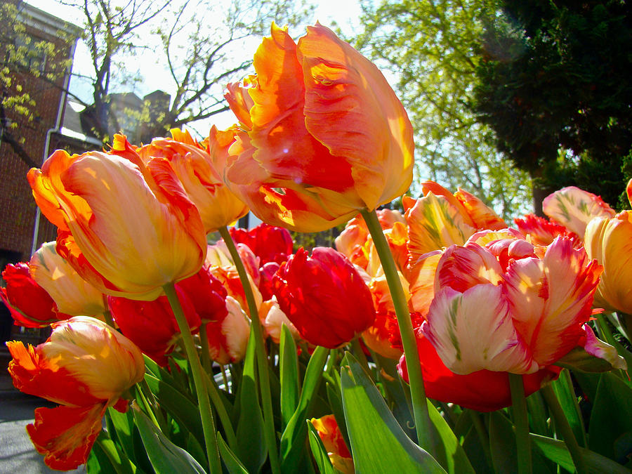 Tulips Photograph - Parrot Tulips In Philadelphia by Mother Nature