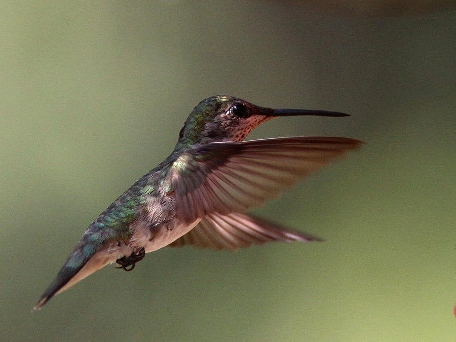 Hummingbird Photograph - Partial Shade For The Ruby- Throated Hummingbird by Travis Truelove
