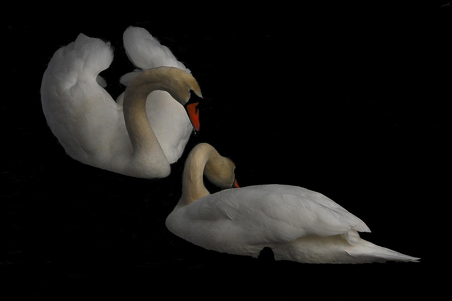 Swan Photograph - Partners by Peggie Strachan