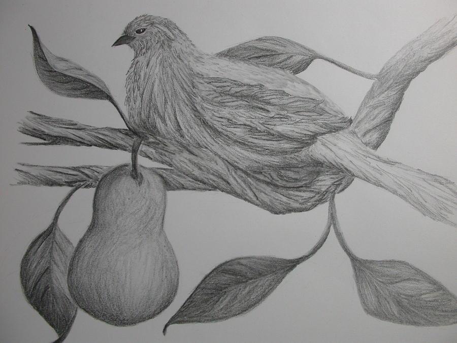 Partridge In A Pear Tree Drawing By Carol Frances Arthur